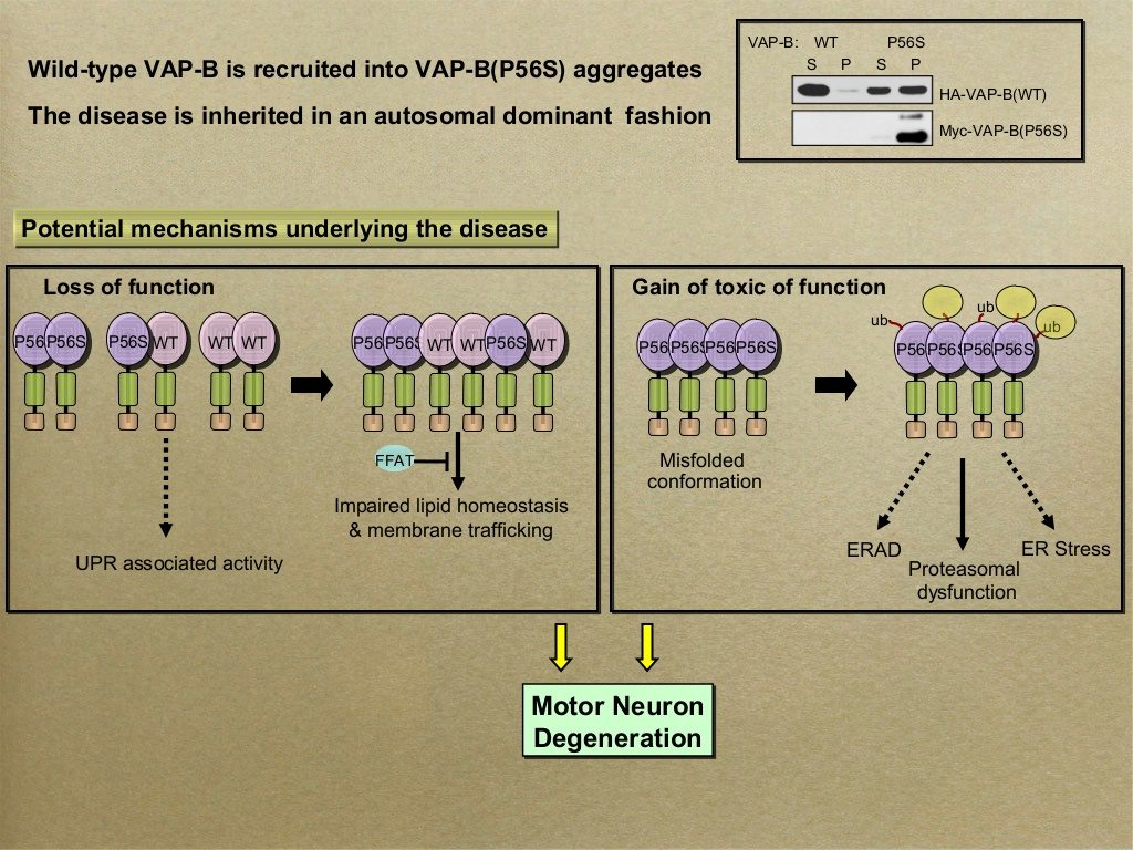 Slide #5 From sima lev's presentation -   VAP-B and its role in Amyotrophic lateral sclerosis