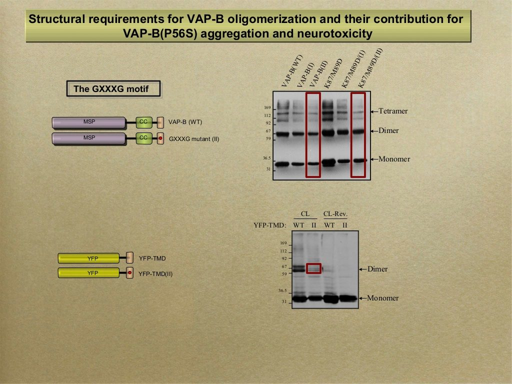 slid #6 From Sima Lev's presentation - VAP-B and its role in Amyotrophic lateral sclerosis