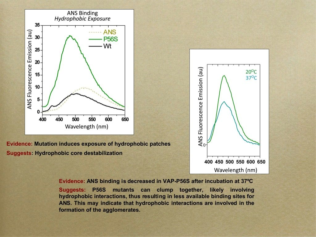 slide #9 From professor Sima Lev's presentation - VAP-B and its role in Amyotrophic lateral sclerosis