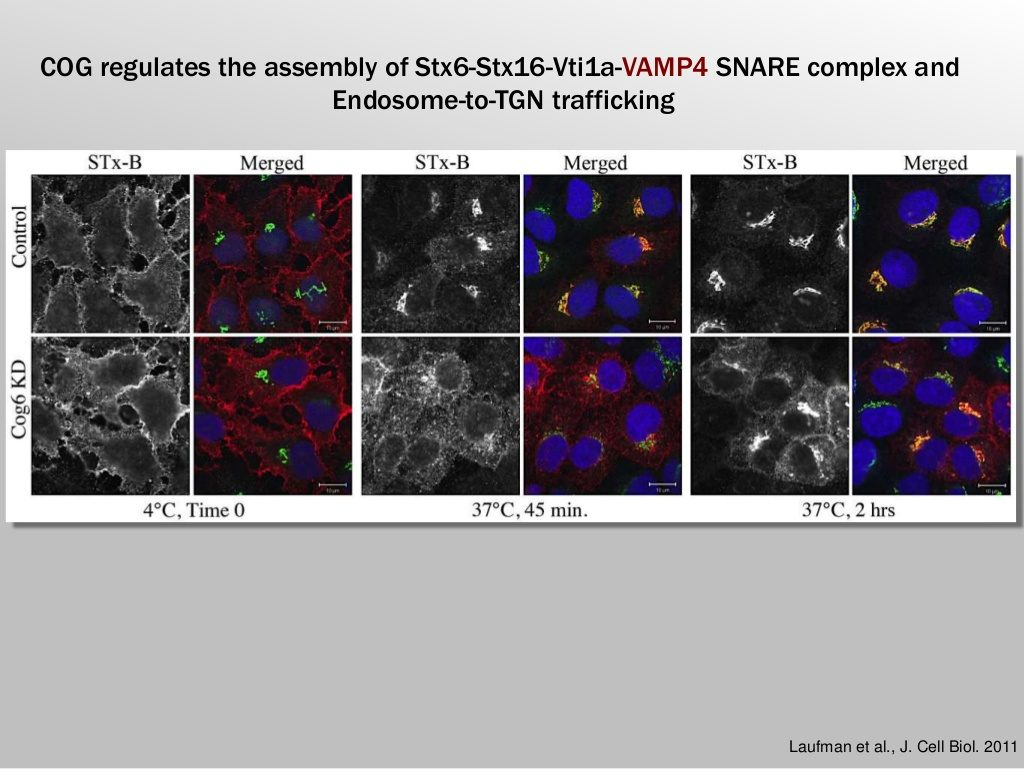 COG regulates the assembly of Stx6-Stx16-Vti1a-VAMP4 SNARE complex and Endosome-to-TGN trafficking