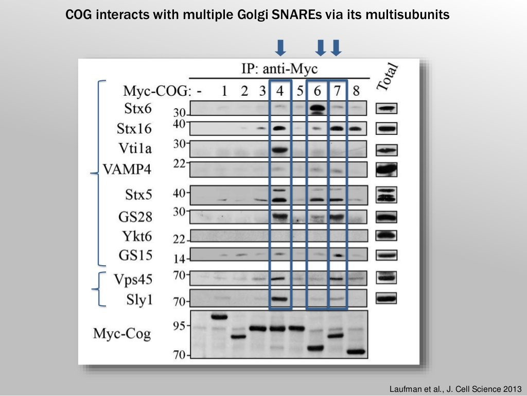 sima lev: COG interacts with multiple Golgi SNAREs via its multi subunits