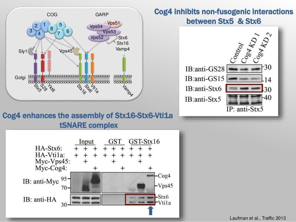 prof: Sima Lev: Cog4 inhibits non-fusogenic interactions between Stx5  & Stx6