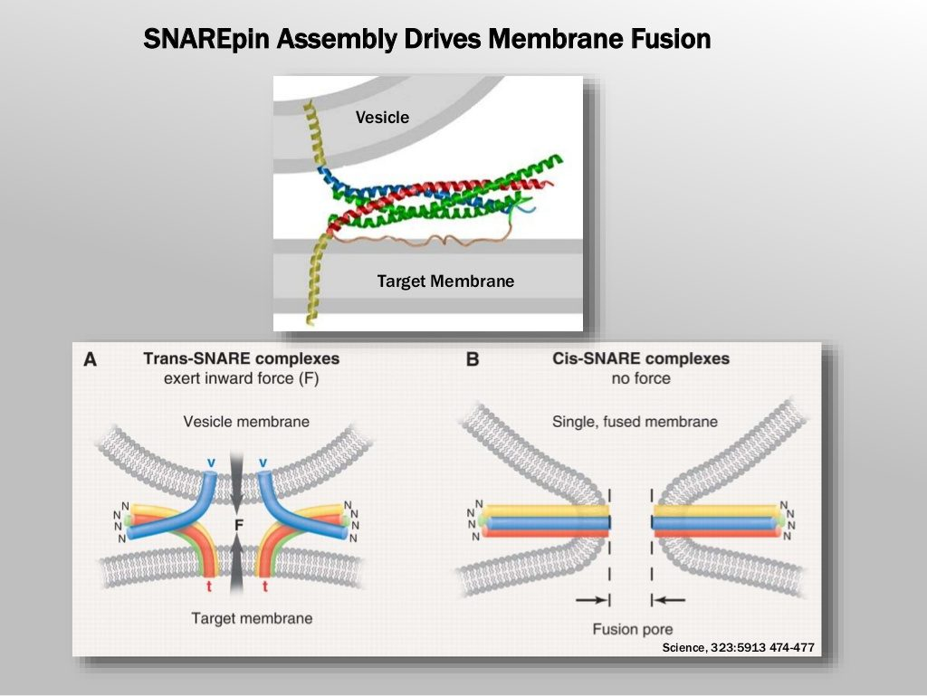 Slide 2: SNAREpin Assembly Drives Membrane Fusion