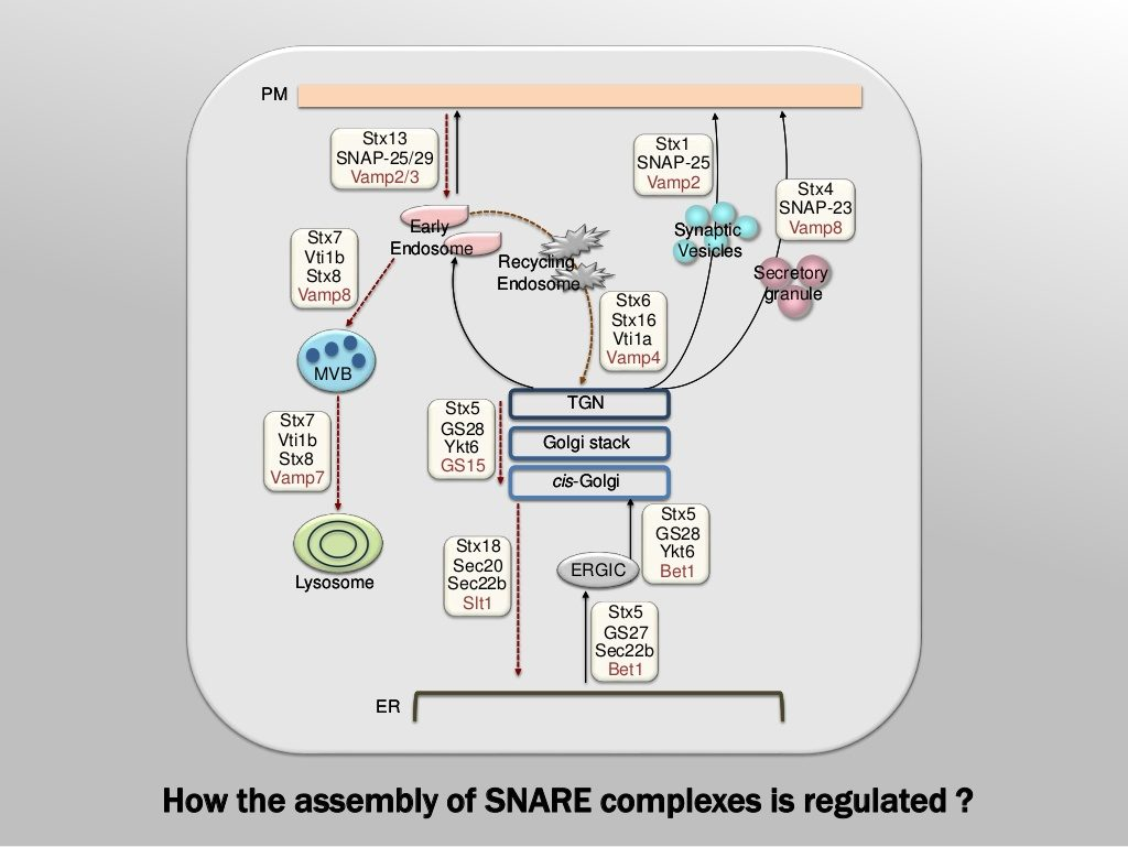Slide 4: SNARE complexes along the secretory and endocytic pathways in mammals.