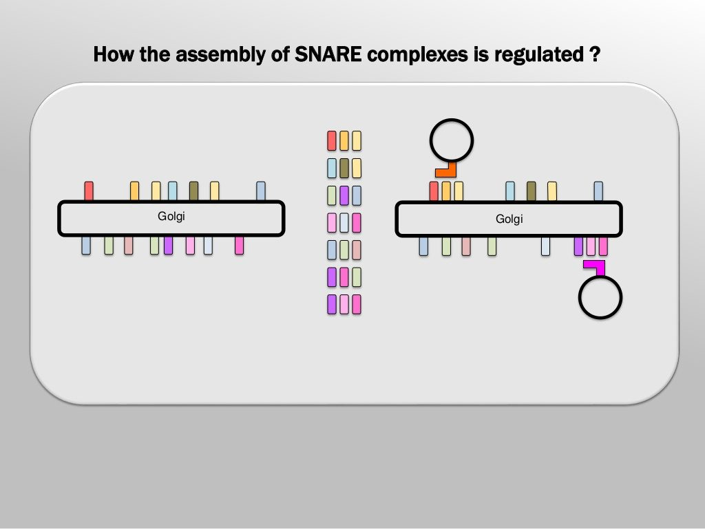 Slide 5: How the assembly of SNARE complexes is regulated?