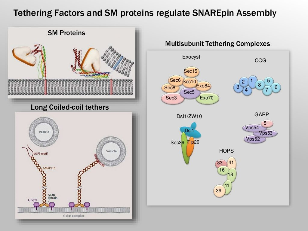 Slide 6: Tethering Factors and SM proteins regulate SNAREpin Assembly